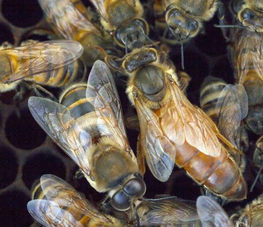 Study: Hive Genetics, Not Individual Traits, Dictate Bee Aggression
