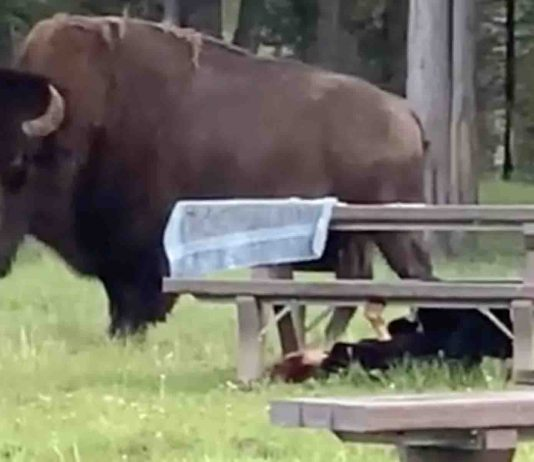 Woman gored by a bison in Yellowstone National Park (Watch)