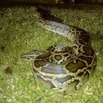 5000 Burmese pythons removed from Florida Everglades (Photo)