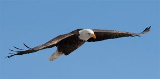 Bald eagle attacks $950 government drone, Report