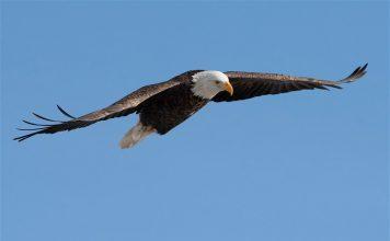 Bald eagle attacks $950 government drone, Report