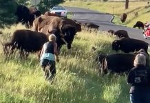 Bison attacks woman in South Dakota for getting too close to calf (Watch)