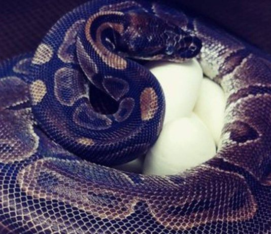 50-year-old python lays eggs at St. Louis Zoo (Picture)