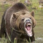 Alaska: Grizzly Bear kills hunter in attack at national park, Report