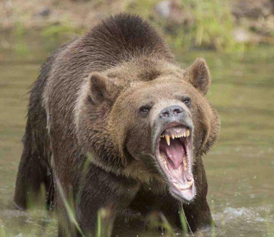 Alaska: Grizzly Bear kills hunter in attack at national park, Report