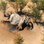 Botswana says toxins in water killed hundreds of elephants, Report