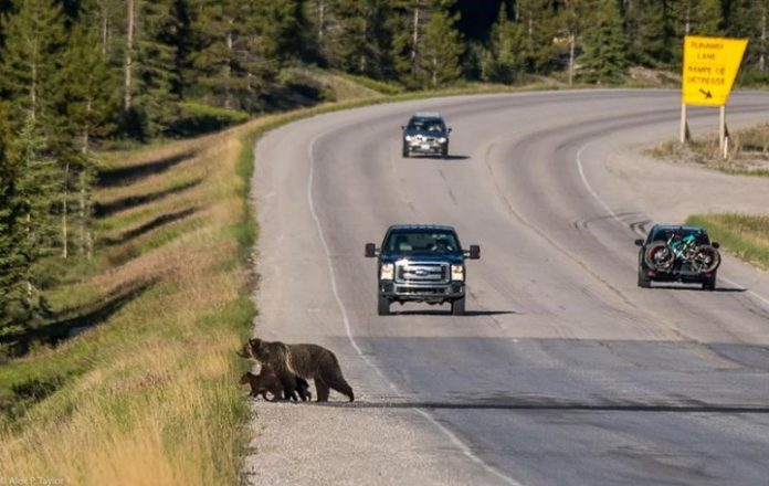 Death of mother grizzly a 'big loss' for bear population in Banff park, Report