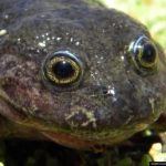 'Ghost' frog not seen for 80 years found in Chile