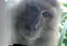 Malaysian monkey takes phone, then selfies (Photo)