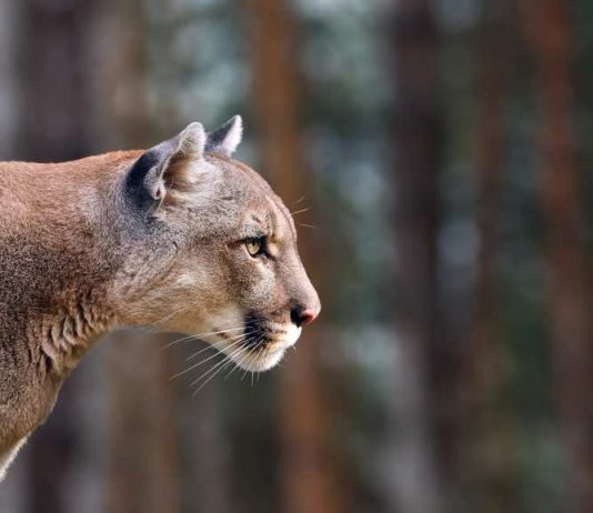 Man charged after cougar harassed with a slingshot, Report