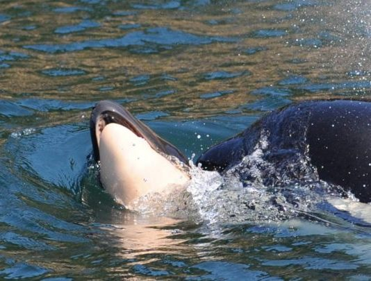 Orca that carried dead calf for 2 weeks gives birth again, Report