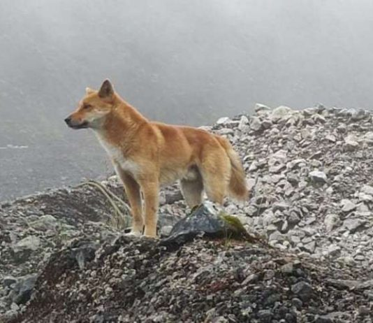 Rare 'singing' dog, thought to be extinct, rediscovered (Study)