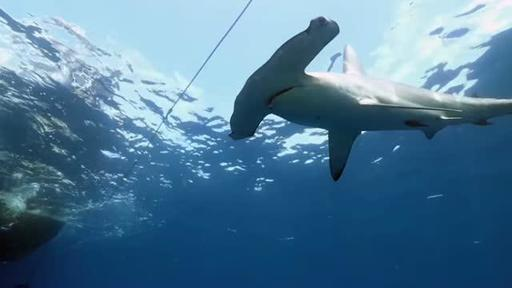 Study: Tracking Hammerhead Sharks Reveals Conservation Targets to Protect a Nearly Endangered Species