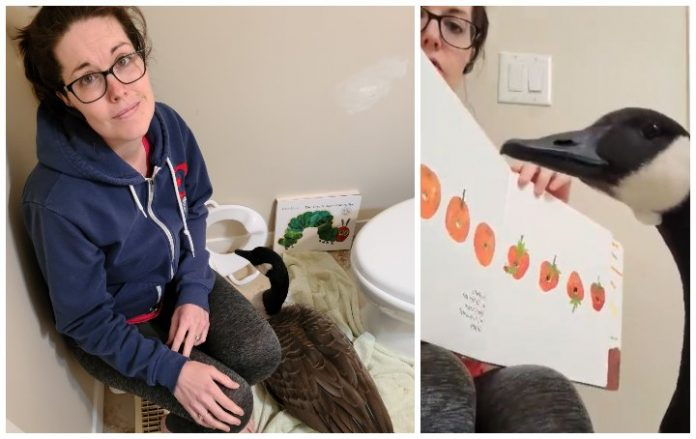 Calgary woman welcomes goose into her home after being concerned for its welfare, Report