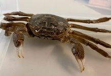 Chinese mitten crab crawls into German woman's home, Report