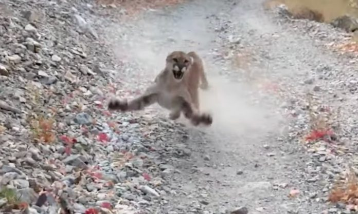 Cougar Relentlessly Stalks Utah Runner (Video)