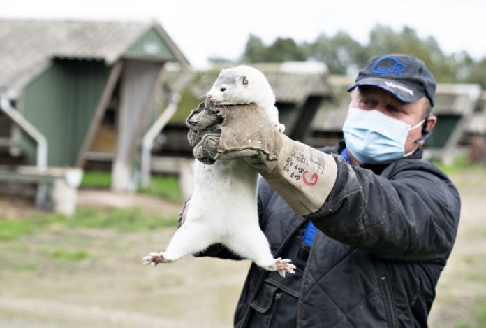 Denmark starts culling 2.5 million minks after virus hits farms