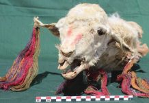 Incas buried decorated llamas alive 'to assuage conquered locals', says new research