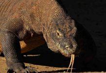 Komodo dragon's last stand ignites revolt over Indonesia's 'Jurassic Park', Report