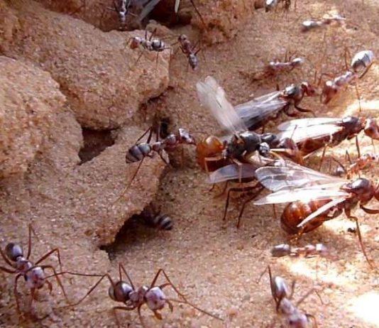 Losing flight had huge benefits for ants, Researchers Say