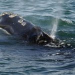 Right whale population lower than previously thought, Report