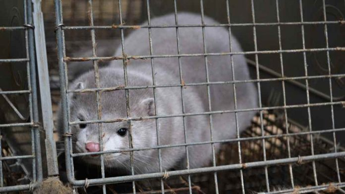 Denmark halts plan to cull 17 million mink over coronavirus, Report