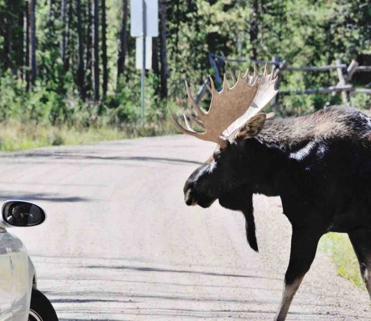 Drivers Warned To Keep Moose From Licking Salt From Cars In Alberta Park, Report