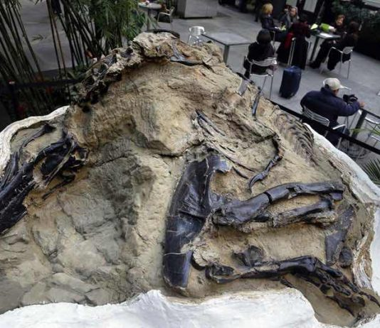 'Dueling dinosaurs' fossils donated to NC museum, Report