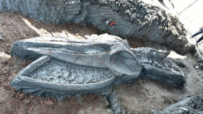 Thailand: Rare whale skeleton discovered (Picture)