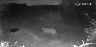 Big Mountain Lion Spotted in Dallas County (Video)