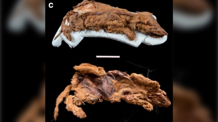 'Kind of incredible': Scientists reveal details of mummified ice age wolf pup found in Yukon