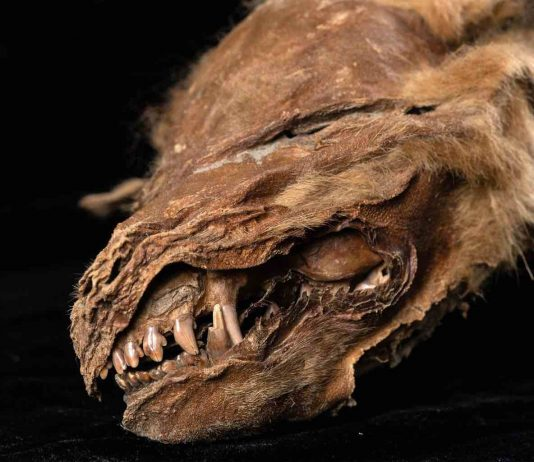Scientists uncover details about ice age wolf pup found in Yukon