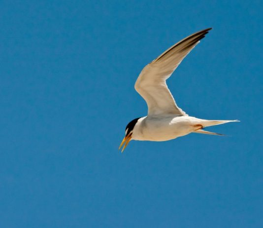 Interior least tern gets off endangered species list, Report