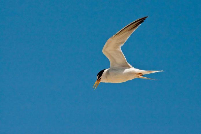 Interior least tern gets off endangered species list, Report