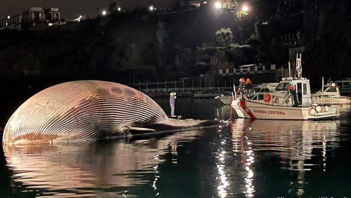 Italian coastguard recover huge whale carcass (Photo)