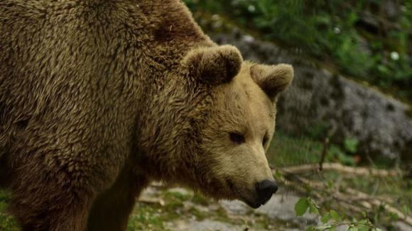 Bear bites woman's bare bottom from outhouse toilet in Alaska, Report