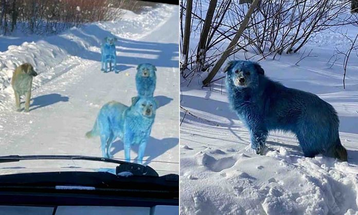 Blue dogs seen roaming near abandoned Russian chemical factory (Photo)