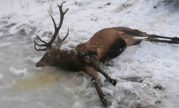 Bodies of drowned deer recovered from frozen lake after being scared by poachers, Report