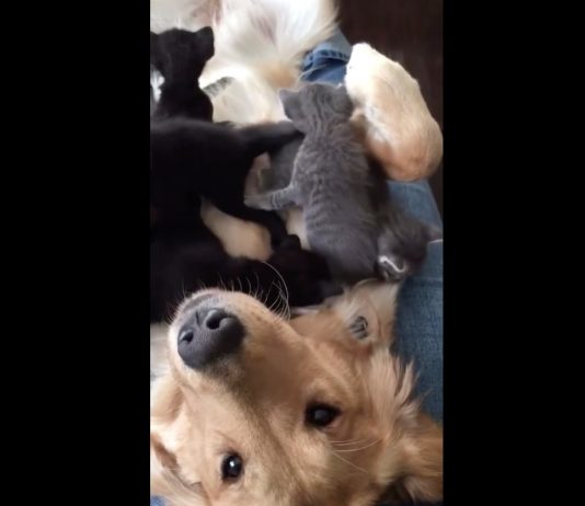 Golden retriever gets 'attacked' by adorable kittens (Video)