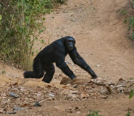 Scientists fear fatal chimp bacteria could jump to humans