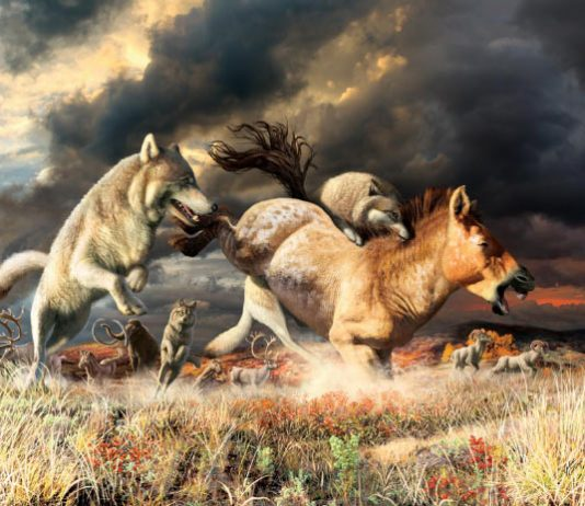 Research: Yukon Wolves Survived Ice-Age Extinction Thanks to Changes in Their Diet