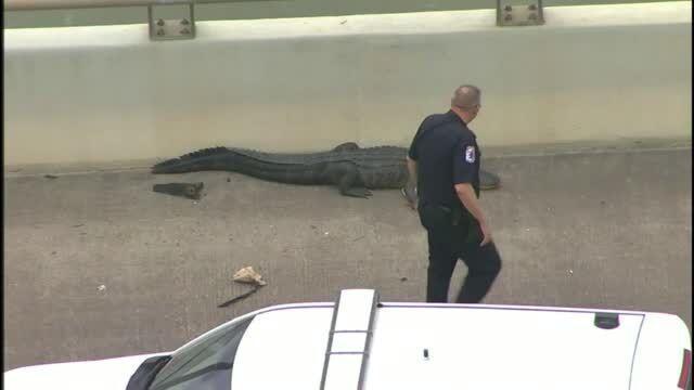 Sleepy gator causes traffic jam on Houston bridge (Video)