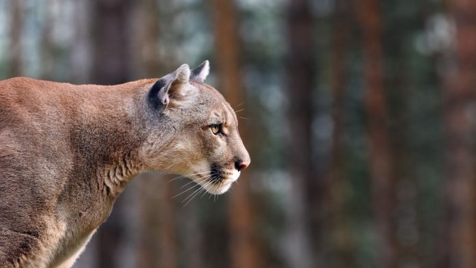 B.C. woman airlifted to hospital with serious injuries in a cougar attack, Report