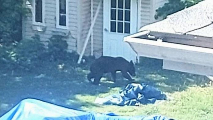 Bear who made Dorval its lair now out of residents' hair after finally being captured, Report