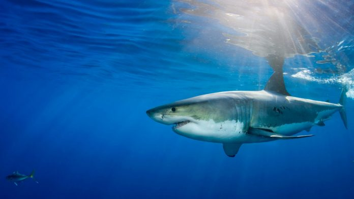 Nature's GPS: Sharks use Earth's magnetic field to navigate the seas