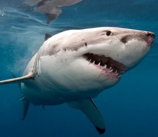 Research uncovers mysterious shark species extinction 19 million years ago