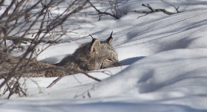 Researchers reveal the secret lives of Canada lynx
