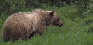 Alberta hiker, hunter attacked by bear in Crowsnest Pass area