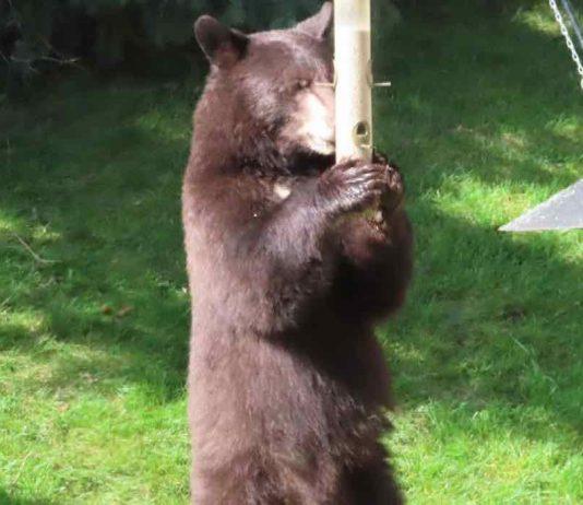 Bears spotted in southwest Calgary neighbourhoods (Police)